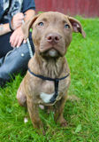 Filhote de cachorro bonito sentado com proprietário Imagens de Stock Royalty Free