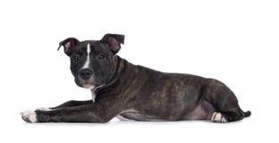 Filhote de cachorro bonito de Staffordshire Terrier do inglês no branco fotografia de stock