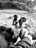 Filhote de cachorro de Boston Terrier imagem de stock