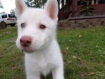 Filhote de cachorro branco imagem de stock royalty free