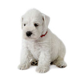 Filhote de cachorro branco fotografia de stock royalty free