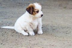 Filhote de cachorro branco Imagens de Stock