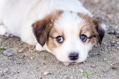 Filhote de cachorro branco Fotografia de Stock