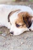 Filhote de cachorro branco Foto de Stock