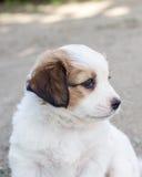 Filhote de cachorro branco Fotos de Stock Royalty Free