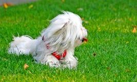 Filhote de cachorro branco bonito Fotos de Stock