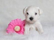 Filhote de cachorro branco bonito Imagem de Stock Royalty Free
