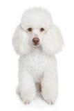 Filhote de cachorro branco da caniche Imagem de Stock Royalty Free