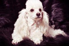 Filhote de cachorro branco da caniche imagem de stock