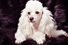 Filhote de cachorro branco da caniche fotografia de stock royalty free