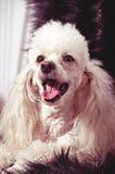 Filhote de cachorro branco da caniche fotografia de stock