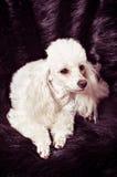 Filhote de cachorro branco da caniche foto de stock royalty free