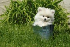 Filhote de cachorro branco de Pomeranian no balde do metal Fotos de Stock Royalty Free