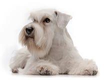Filhote de cachorro branco do schnauzer diminuto fotos de stock royalty free