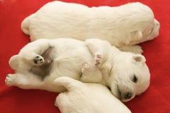 Filhote de cachorro branco do terrier das montanhas ocidentais engraçadas Fotografia de Stock