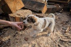 Filhote de cachorro branco pequeno bonito brincalhão do híbrido fotografia de stock
