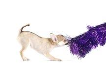 Filhote de cachorro brincalhão da chihuahua com ouropel roxo brilhante imagens de stock