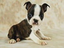 Filhote de cachorro Brindle de Boston imagens de stock