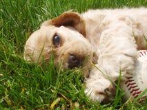 Filhote de cachorro cansado toda para fora Fotos de Stock