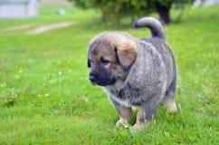 Filhote de cachorro caucasiano do cão de pastor que está na grama Fotografia de Stock Royalty Free