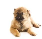 Filhote de cachorro caucasiano do pastor fotografia de stock
