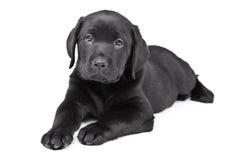 Filhote de cachorro Charming Labrador Fotos de Stock Royalty Free