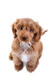 Filhote de cachorro Cockapoo isolado no branco Foto de Stock Royalty Free