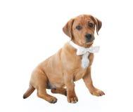 Filhote de cachorro com Bowtie Imagens de Stock Royalty Free