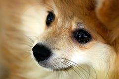 Filhote de cachorro com contato de olho Fotografia de Stock