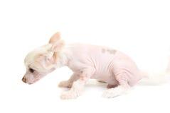 Filhote de cachorro com crista chinês imagens de stock royalty free