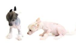 Filhote de cachorro com crista chinês Foto de Stock