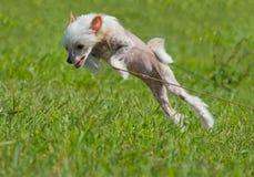 Filhote de cachorro com crista chinês do cão Foto de Stock