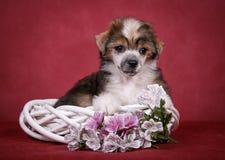 Filhote de cachorro com crista chinês do cão Fotografia de Stock