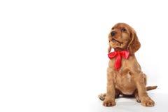 Filhote de cachorro com curva vermelha Fotografia de Stock Royalty Free
