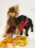 Filhote de cachorro com espantalho e folhas Fotografia de Stock
