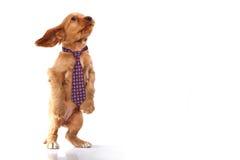 Filhote de cachorro com laço Imagem de Stock