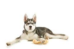 Filhote de cachorro com o osso Fotografia de Stock Royalty Free