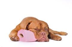 Filhote de cachorro com papel higiénico imagens de stock royalty free
