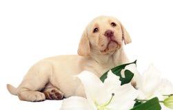 Filhote de cachorro com um lírio. Imagem de Stock Royalty Free