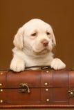 Filhote de cachorro com um tronco. Imagens de Stock Royalty Free