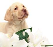 Filhote de cachorro com uma flor branca. Imagem de Stock