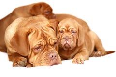 Filhote de cachorro com uma matriz. Imagem de Stock