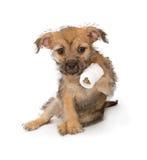 Filhote de cachorro com uma pata ferida Fotografia de Stock