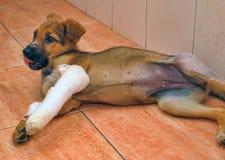 Filhote de cachorro com uma pata quebrada Fotografia de Stock Royalty Free