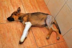 Filhote de cachorro com uma pata quebrada Fotografia de Stock