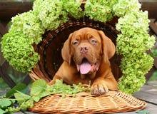Filhote de cachorro com uvas e flores. Foto de Stock Royalty Free