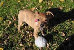 Filhote de cachorro curioso Foto de Stock