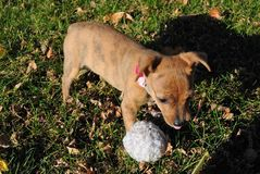 Filhote de cachorro curioso Fotografia de Stock Royalty Free