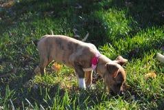Filhote de cachorro curioso Imagens de Stock Royalty Free