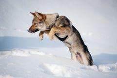 Filhote de cachorro Czechoslovakian do wolfdog Imagem de Stock Royalty Free